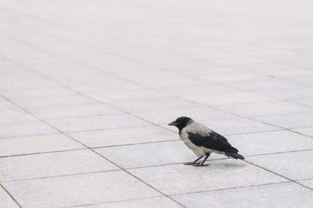 Small black crow walks on gray sidewalk with copy space. Background of pavement with little raven. Steps of wild bird on asphalt close up. Predatory animal of city fauna. Фото со стока