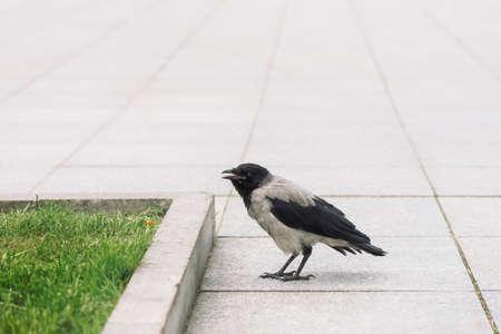 Black crow walks on gray sidewalk near border on background of green grass with copy space. Raven on pavement. Steps of wild bird on asphalt close up. Predatory animal of city fauna.