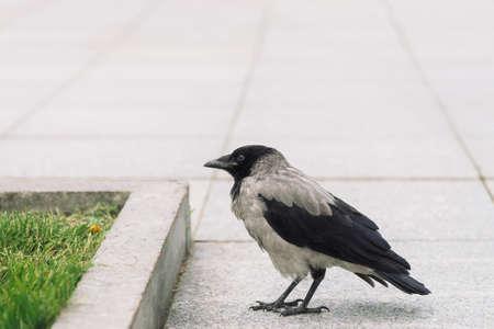 Schwarze Krähe geht auf grauem Bürgersteig nahe der Grenze auf dem Hintergrund des grünen Grases mit Kopienraum. Rabe auf Bürgersteig. Wilder Vogel auf Asphalt. Raubtier der Stadtfauna. Gefieder des Vogels ist aus nächster Nähe.