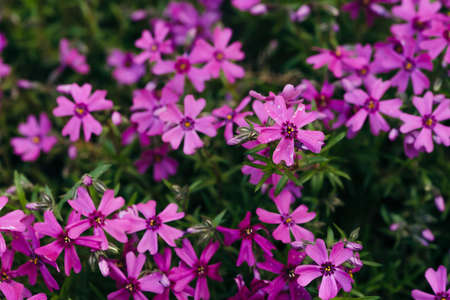 Phlox Subulata Purple Beauty grow on green background close up. Many beautiful small flowers in macro. Backdrop of group from violet blooming plants on greenery. Stock fotó