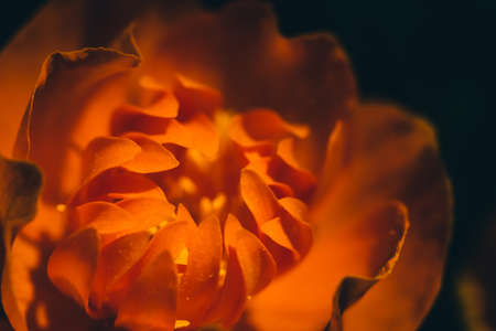 Beautiful warm bud of fiery flower on dark background with copy space. Trollius Asiaticus in macro. Petals of orange fire close up. Abstract association on theme of fire.