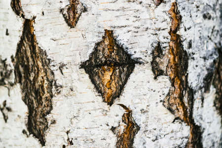 Detailed texture of bark of birch in macro. Unusual fragment of spotted betula surface with copy space. Injury of tree close up. Beautiful relief.