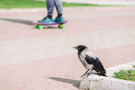 Black crow walks on border near gray sidewalk on background of legs of skateboarder with copy space. Raven on pavement near green grass. Wild bird on asphalt close up. Vivid kid on skateboard in bokeh