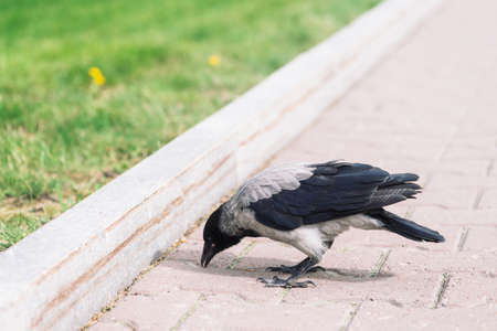 Black crow walks on gray sidewalk near border on background of green grass with copy space. Raven on pavement. Steps of wild bird on asphalt close up. Predatory animal of city fauna.