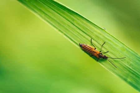 Small beetle Cerambycidae on vivid shiny green grass with dew drops close-up with copy space. Pure, pleasant, nice greenery with rain drops in sunlight in macro. Green plants in rain weather. Stock Photo