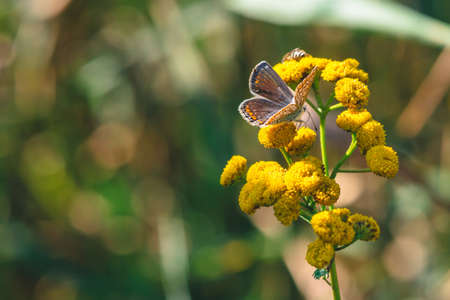 Small orange butterfly on yellow wild flower with copy space on bokeh. Beautiful insect close up on inflorescence on green blurred background. Tansy in macro.