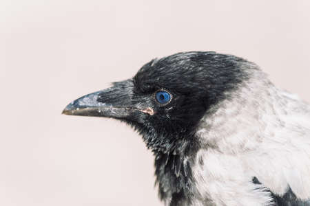 Head of young crow on gray background. Portrait of raven close up. Urban bird.