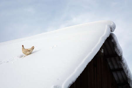 Optimistic hen sits on snow covered roof of old wooden village house. Flying chicken escaped from coop in winter time away to live. Free bird enjoy life in summit. Freedom background.