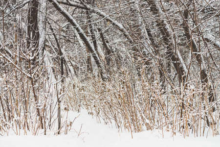 Snowy path among tree branches in parkland close up. Snowy white background in grove. Winter trees with hoarfrost during snowfall. Fall of snow. Atmospheric forest landscape. 写真素材