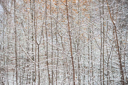 Tree branches in parkland close up. Snowy white background in grove with copy space. Winter trees and bushes with hoarfrost during snowfall. Fall of snow. Atmospheric forest landscape.