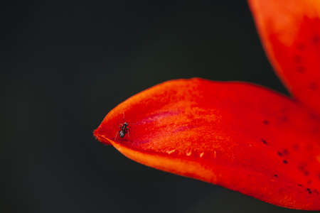 Small black ant on edge of red orange petal close-up. Insect on blooming flower with copy space. Atmospheric macro scene. Ant is high near abyss. Amazing vivid scenic macro world. Epic scene.