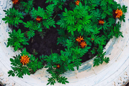 Amazing red orange tagetes in white flower bed close-up. Beautiful red-orange lush flowers of marigold in flowerbed. Colorful natural background of marigolds with vivid rich green leaves. Copy space.