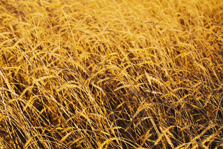 Field of gold wheat in sunlight close-up with copy space. Vivid golden rye glitters in sun. Beautiful bright field in sunny day. Scenic colorful agricultural textured background. Wheat in macro.