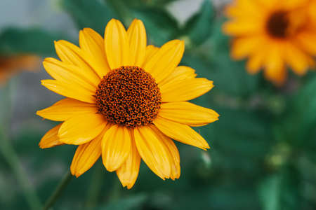 Colorful juicy yellow flower with orange center and vivid pleasant pure petals. Flowering jerusalem artichoke in macro. Blossoming helianthus tuberosus close-up. Beautiful flower of topinambur.