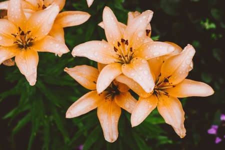 Beautiful flowering cream lily in macro. Amazing picturesque wet blooming orange flower closeup. Raindrops on colorful plant. Wonderful european perfume flower with dew drops. Droplets on beige petals