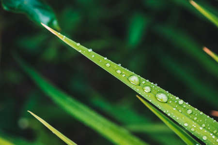 Beautiful vivid shiny green grass with dew drops close-up with copy space. Pure, pleasant, nice greenery with rain drops in sunlight in macro. Background from green textured plants in rain weather.