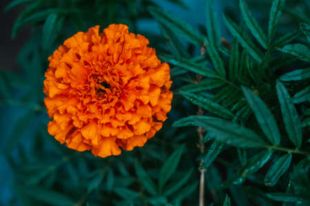 Tender marigold on rich greenery background with raindrops. Small velvet orange flower with dew drops close-up. Cute tagetes with droplets with copy space. Picturesque garden lush flower in flower bed