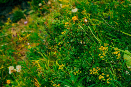 Dandelions among rich vegetation. Small beautiful yellow flowers among motley grasses close-up. Natural background with blowball in greenery. Highland flora. Amazing plants. Bupleurum aureum.