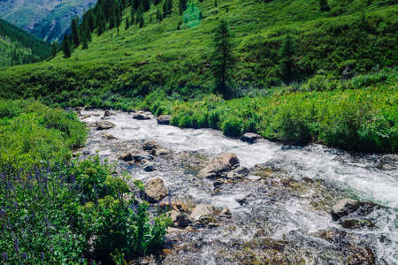 Fast water stream of mountain creek among boulders in bright sunlight in valley. Vivid grass, purple flowers, rich vegetation near brook in highlands. Amazing green landscape of majestic Altai nature. Imagens
