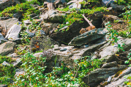 Pika rodent on cliff among rich plants of highlands. Small curious animal on rock. Little fluffy cute mammal on background of greenery. Stok Fotoğraf