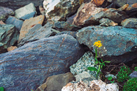 Multicolored boulder stream. Loose rock close up. Yellow flower among randomly stones. Amazing detailed background of highlands boulders with mosses and lichens. Natural texture of mountain terrain. 写真素材
