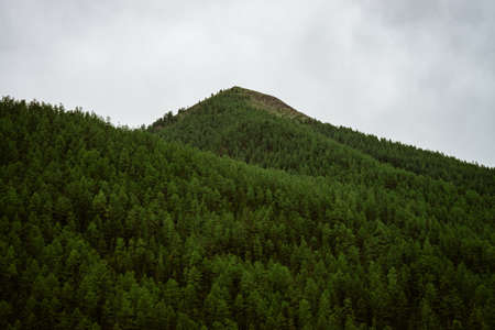 Detailed texture of conifer forest on hill close up. Background of tree tops on mountainside under cloudy sky. Cones of conifer trees on steep slope in overcast weather with copy space.