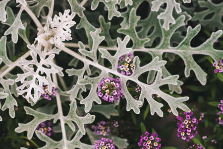 Beautiful small flowers of alyssum among gray green leaves of cineraria in macro. Lobularia maritima and cineraria maritima. Rough leaves of exotic dusty miller plant close-up. Silver dust herb. Banco de Imagens