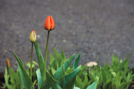 Two beautiful gentle unopened tulips, covered with raindrops close-up on asphalt background. Red and yellow cute flowers with dewdrops with green grass. Harmonic combination of drops on gentle petals. 版權商用圖片