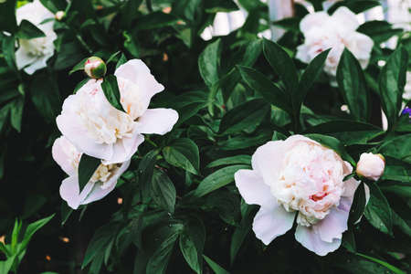 Amazing cream peonies. Wet blooming lush flowers and young buds with long green leaves close-up. Two beautiful peonies with copy space. Rich greenery with rain drops in rainy weather. Dew drops.