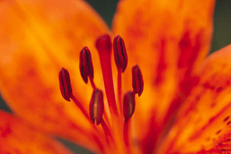 Big pistil and stamens of blooming flower in macro. Beautiful red orange lily close-up. Colorful natural background of plant with copy space. Amazing european flower with vivid petals. Perfume flower. Stock Photo