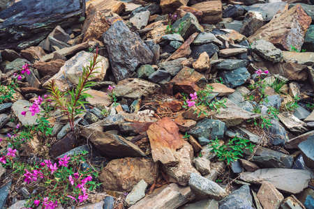 Amazing pink flowers of wormwood grows on rocks among stones close up. Rich vegetation of highlands. Mountain flora. Detailed natural background with copy space. Wonderful nature. Beautiful plants. Standard-Bild - 124054117