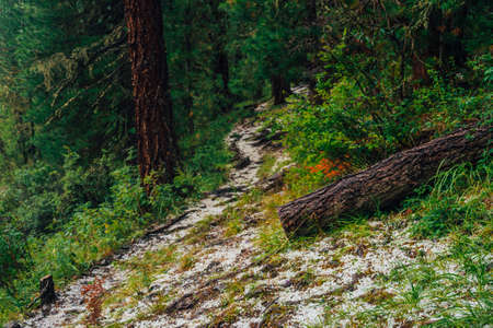 Hailstone on trail in dark coniferous forest. Atmospheric woodland landscape with rich forest flora. Hail in woods. Path in highlands. Rise on mountain through woodland. Way up in dark conifer forest. Standard-Bild - 124054182