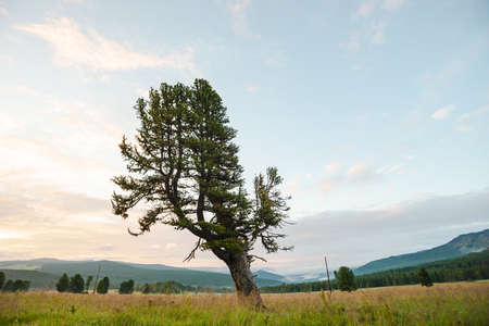 Old giant cedar on hill. Beautiful wounded coniferous tree in grassland on mountain background under blue cloudy dawn sky. Poles with wires on field. Atmospheric landscape. Standard-Bild - 124054285