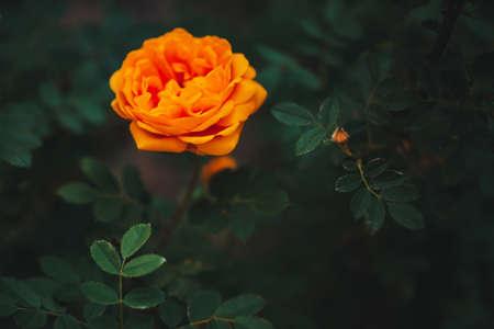 Orange garden rose on green background with copy space. Beautiful orange flower close-up. Amazing bright fire rose grow among rich greenery. Vivid flowering bud in garden. Romantic gentle plant. Standard-Bild - 124054722