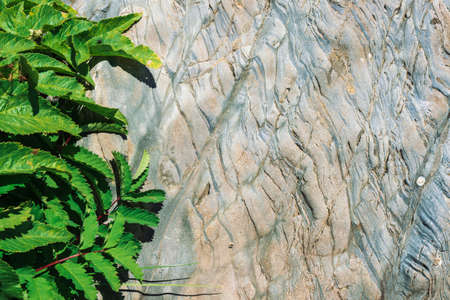 Vivid leaves of Heracleum and Sanguisorba Officinalis on shale rock in sunlight. Detailed texture of mountain stone surface with rich vegetation in sunshine close up. Sunny background. Fly on leaf. 写真素材 - 125153908