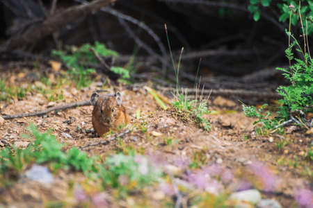 Pika rodent on ground in highlands. Small curious animal on colorful hill. Little fluffy cute mammal in mountain picturesque terrain near plants. Small mouse with big ears. Little nimble pika. 写真素材 - 125153839