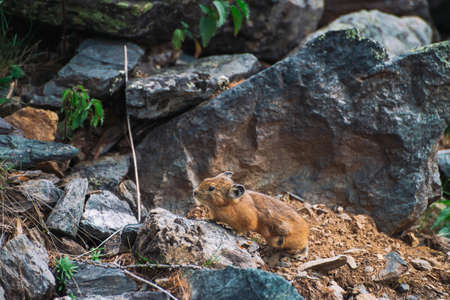 Pika rodent on stones in highlands. Small curious animal on colorful rocky hill. Little fluffy cute mammal on picturesque boulders in mountains. Small mouse with big ears. Little nimble pika. Standard-Bild - 125153841