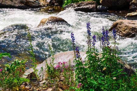 Group beautiful purple and pink flowers and rich vegetations grows near mountain creek. Fast water stream of creek among stones in bright sunlight. Amazing green landscape of unusual Altai nature. Standard-Bild - 125153866