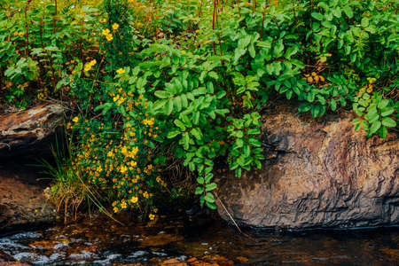 Bush with blooming yellow flowers of silverweed near spring water with stones close-up. Medical plants grow near mountain creek. Healing plant near spring stream. Landscape with brook near rich flora. Standard-Bild - 125153871
