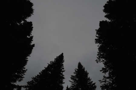 Dark silhouettes of high pines and spruces from below upwards on background of clear sky with copy space. Coniferous trees close up in grayscale. Eerie atmospheric monochrome landscape. 写真素材 - 125984977