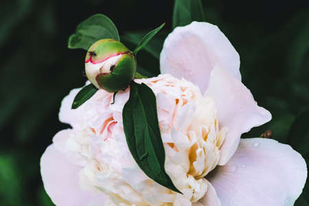Amazing cream peony with drops. Wet blooming flower and young bud with long green leaves close-up. Insect on flower with copy space. Small black ant creep on unblown bud in macro. Beautiful peonies. Standard-Bild - 125985004