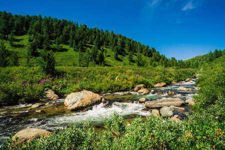Fast water stream of mountain creek among boulders in bright sunlight in valley. Vivid grass, pink flowers, rich vegetation near brook in highlands. Amazing green landscape of majestic Altai nature. 写真素材 - 126453877