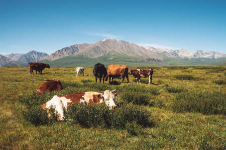Cows graze in grassland in valley against wonderful giant mountains in sunny day. Agriculture, animal husbandry in highlands. Amazing sunny mountain landscape under blue clear sky.