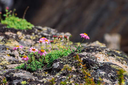 Aster Alpinus grows on rocks among stones. Amazing pink flowers with yellow center. Alpine Asters on cliff close up. Vegetation of highlands. Beautiful mountain flora with copy space. Wonderful plants