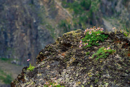 Aster Alpinus grows on rocks among stones. Amazing pink flowers with yellow center. Alpine Asters on cliff. Vegetation of highlands. Mountain flora with copy space. Wonderful nature. Beautiful plants. 写真素材