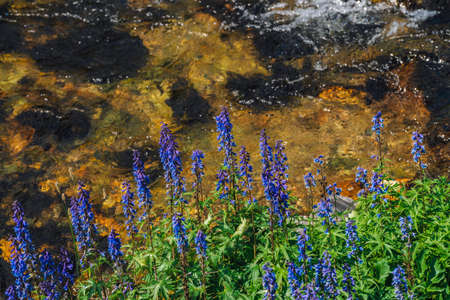 Group of beautiful purple flowers of larkspur near mountain creek close-up. Rich vegetation of highland. Blooming blue flowers on background of spring water stream among in bright sunlight.