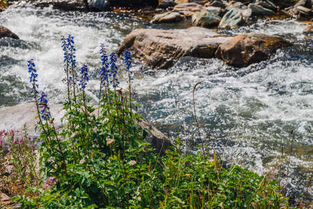 Group of beautiful purple flowers of larkspur near mountain creek close-up. Rich vegetation of highland. Blooming blue flowers on background of fast water stream among boulders in bright sunlight. 写真素材
