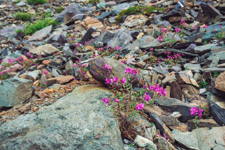Amazing pink flowers of wormwood grows on rocks among stones close up. Rich vegetation of highlands. Mountain flora. Detailed natural background with copy space. Wonderful nature. Beautiful plants.