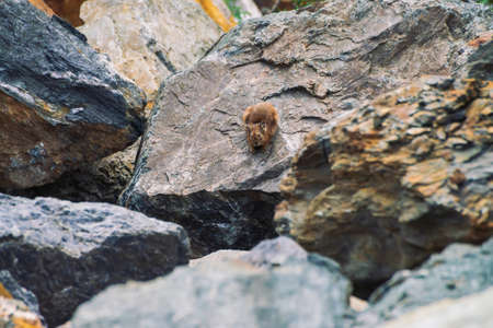 Pika rodent on stones in highlands. Small curious animal on colorful rocky hill. Little fluffy cute mammal on picturesque boulders in mountains. Small mouse with big ears. Little nimble pika.