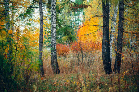 Wonderful autumn landscape with multicolor leaves. Scenic fall foliage on trees. Yellow orange leafage. Beautiful golden autumn in Altai. Colorful fall forest with fallen leafs. Picturesque scenery.